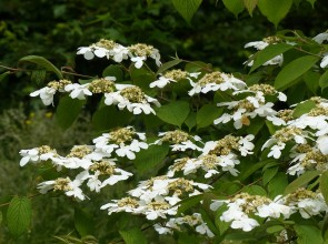 Porridge tree