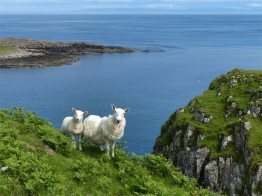 Skye Sheep