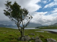 The only tree on the Àird