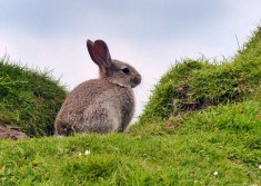 Trotternish bunny