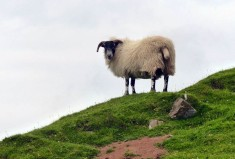 Trotternish sheep