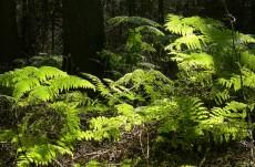 Bracken in the forest
