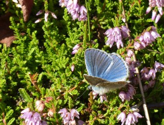 Common blue on the heather