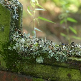 Lichen on a gate