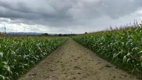 Path through the maize