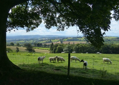 South Shropshire sheep