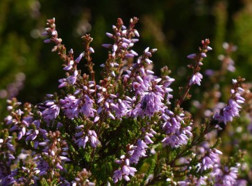 The bonny blooming heather