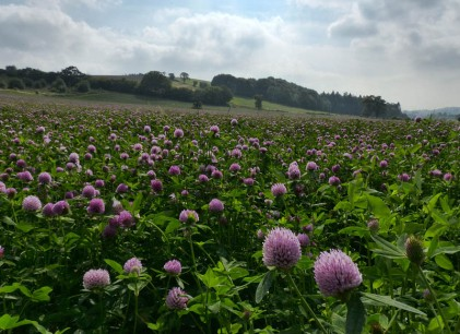 A field of clover