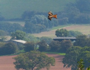Kite over Corvedale