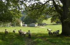 Wetmoor sheep