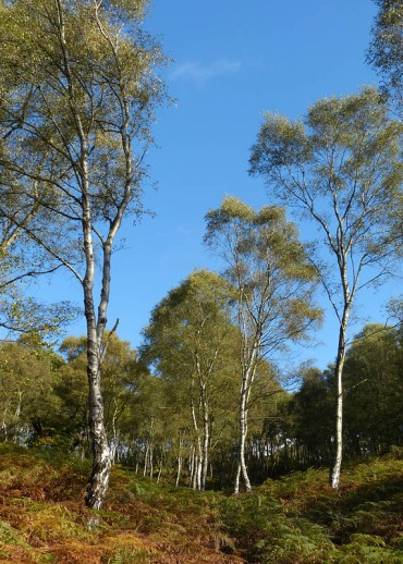 Birch in abundance