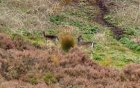 Distant deer
