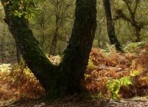 Oak and bracken