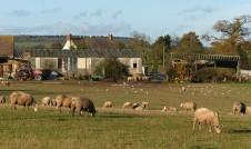 Sheep, gulls and farm