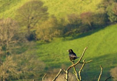 Treetop crow
