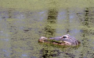 Croc in the swamp