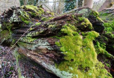 Old wood and moss
