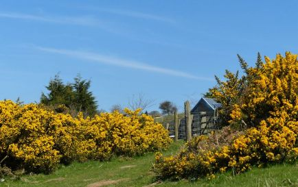 Yellow gorse