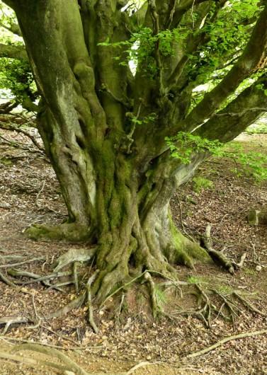 Ancient beech