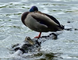 Duck on a log
