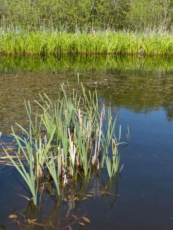 Reedy pool