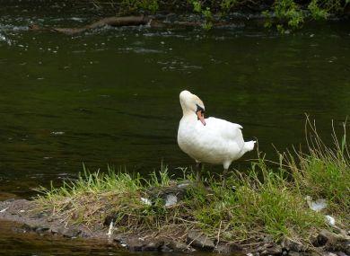 Swan on the island