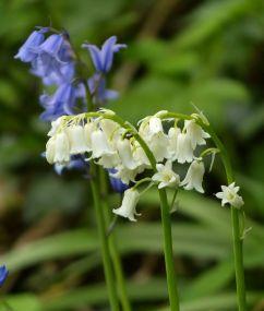 Whitebells and bluebells