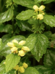 Yellow dead nettle