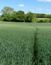A path through the wheat