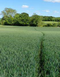 A path through the wheat