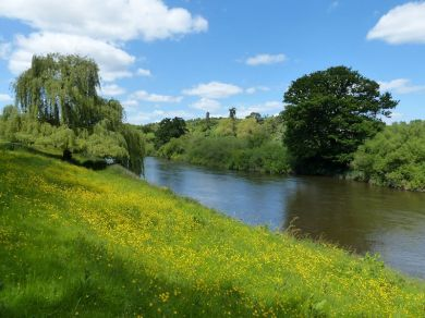 Buttercups by the river