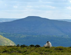 Sheep and Sugarloaf