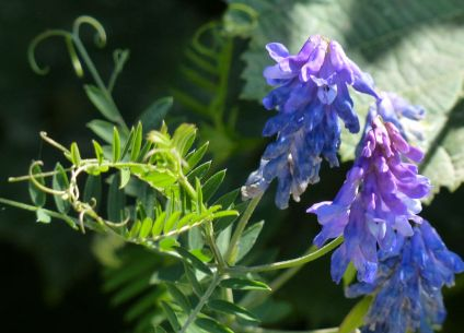 Blue vetch