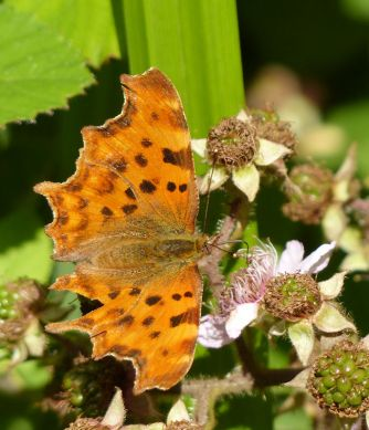Comma on the brambles