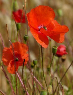 Cornfield poppies