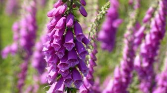 Foxgloves galore