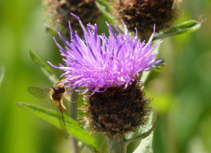 Knapweed and visitor