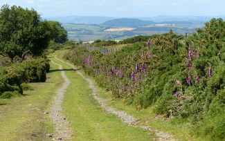 Lane with foxgloves