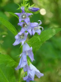 Nettle-leafed bellflower