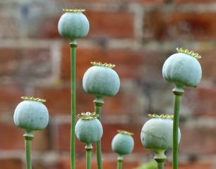 Poppy-tops