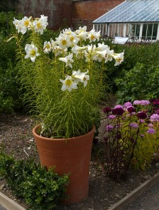 Potted lily
