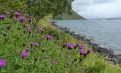 Knapweed beside the sea