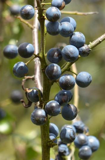 Sloe gin anyone?