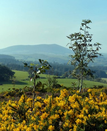 Gorse and ash