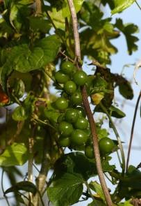 Green berries