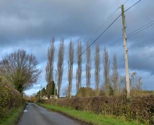 Poplars