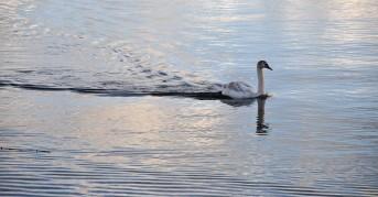 Stately swan