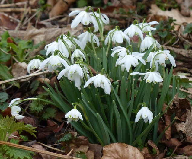 A last look at the snowdrops
