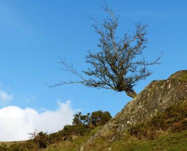 Hillside hawthorn