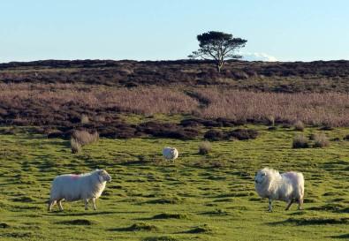 Pine and posing sheep